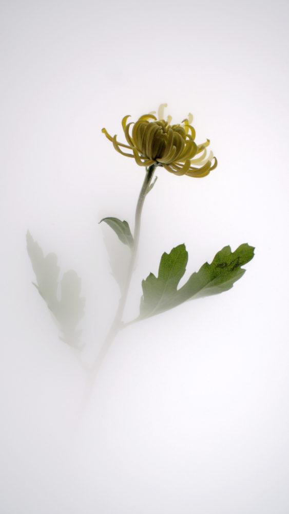 Still Life 006 Chrysanthemum, Wu Chi-Tsung