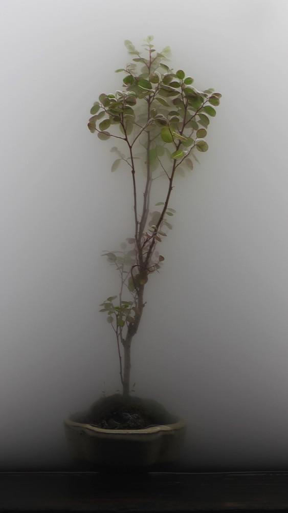 003 bonsai